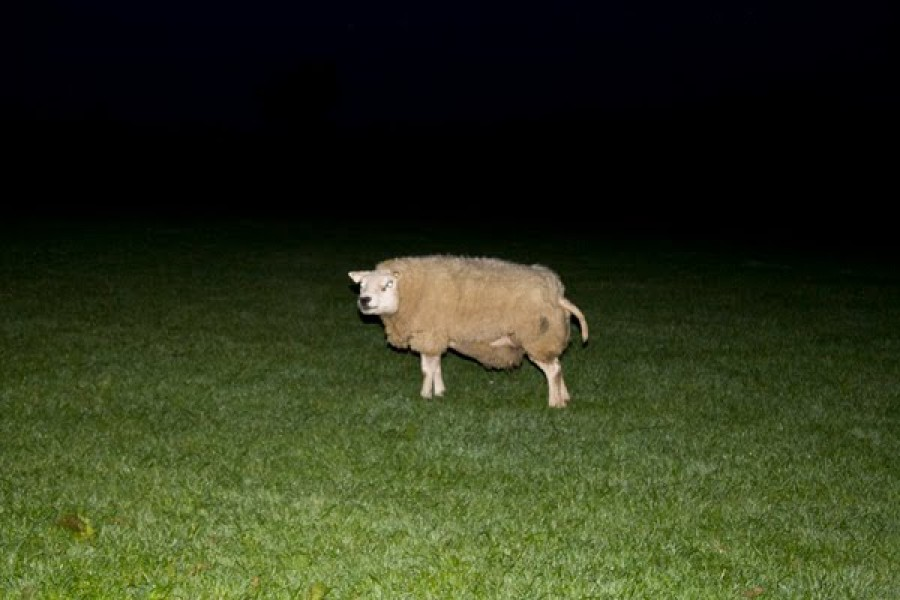 Sheep in the Night